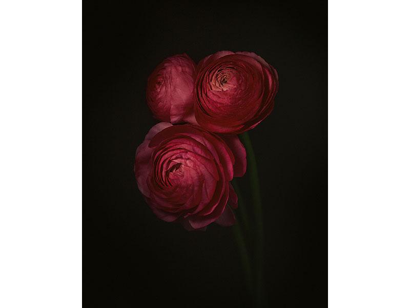 Ranunculus by Alana Lee